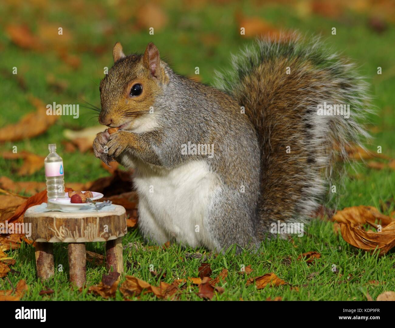 grey squirrel with small picnic table in park autumn leafs on ground - Stock Image