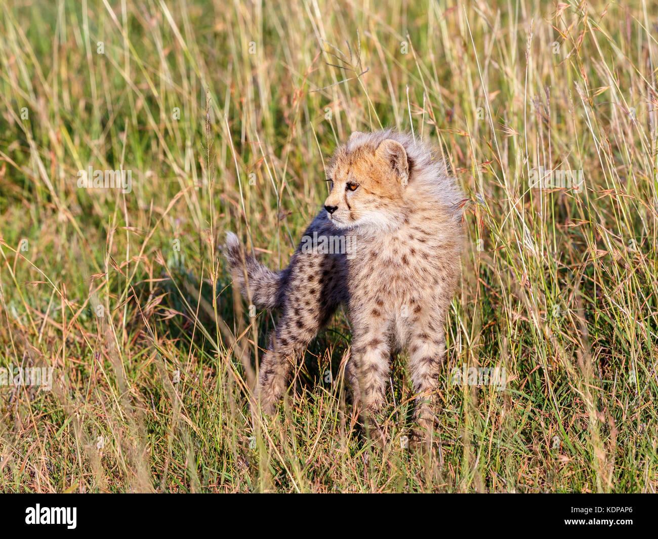 Cheetah cub in the grass of the savannah - Stock Image