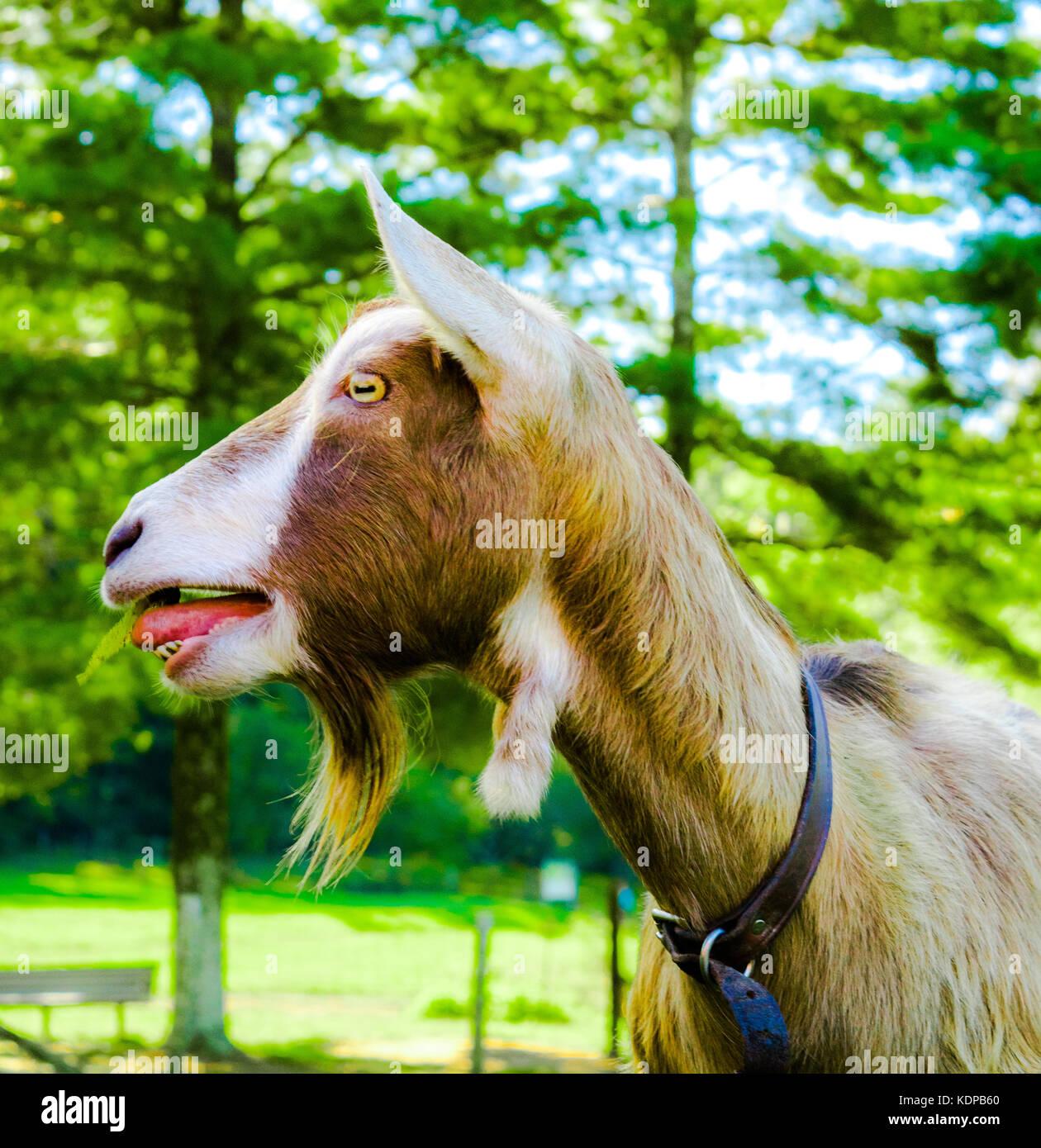 Swedish Mountain Goats in North Carolina - Stock Image