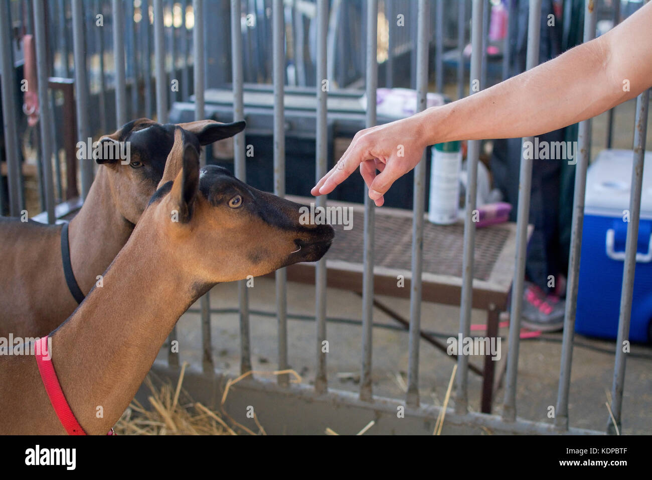 Sacramento, California, U.S.A. 23 July 2017. Hand touching goat on display at the California State Fair at Cal Expo. - Stock Image