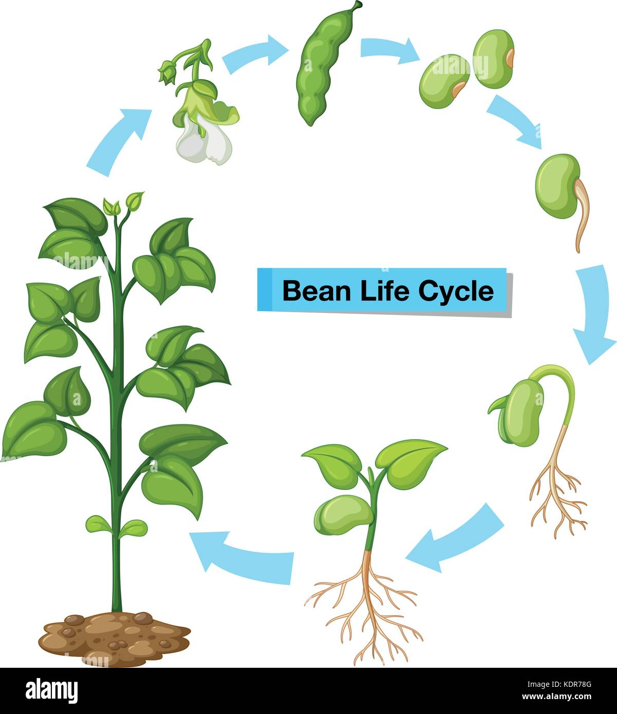 Green bean plant diagram complete wiring diagrams diagram showing bean life cycle illustration stock vector art rh alamy com lima bean dissection diagram parts of a lima bean plant ccuart Image collections