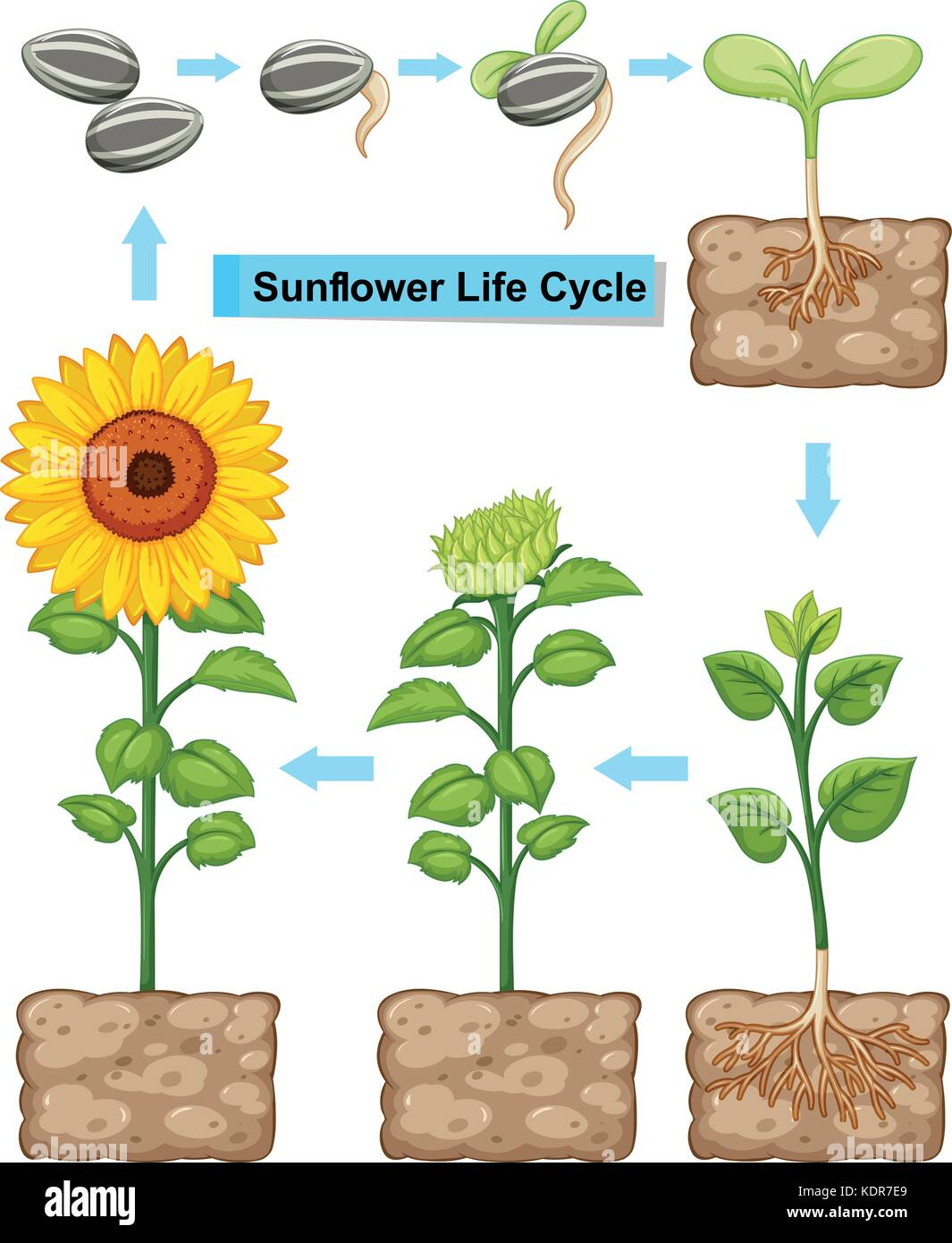 Flower Life Cycle Illustration Stock Photos & Flower Life Cycle ...