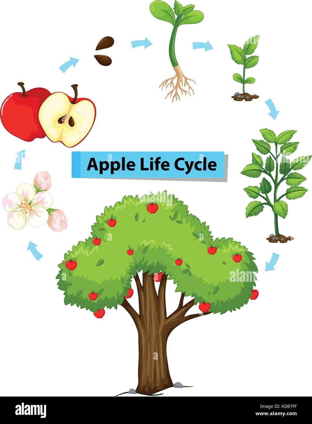 Flower Life Cycle Illustration Stock Photos  U0026 Flower Life