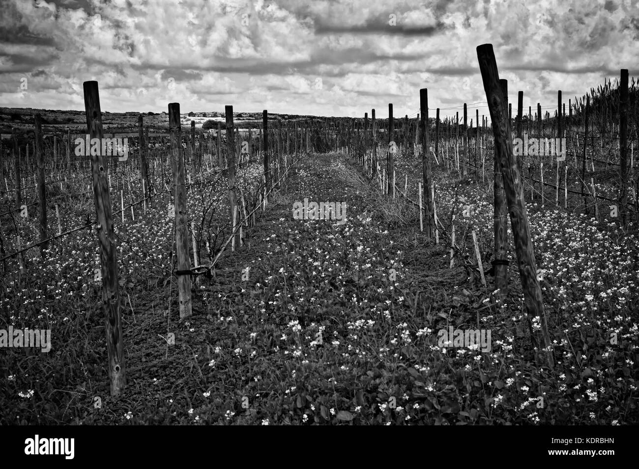 Vineyard supporting poles in a field in Bahrija in monochrome - Stock Image