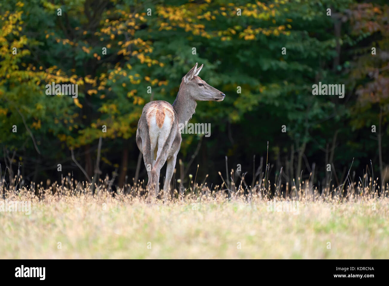 Female Red deer stag in the natural environment - Stock Image