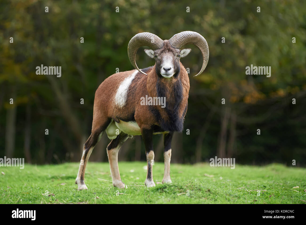 Big european moufflon in the nature habitat - Stock Image