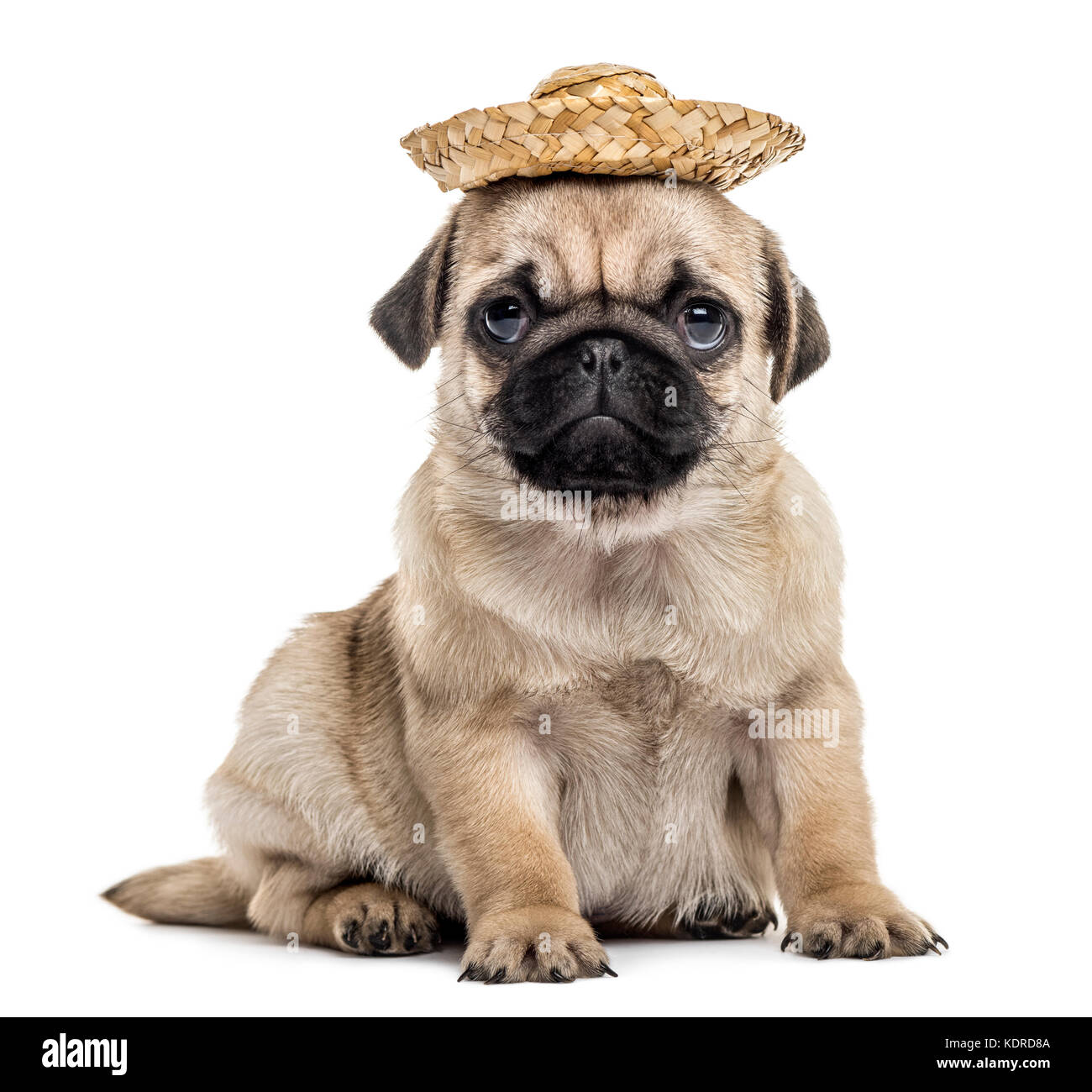 Pug puppy with a hat, isolated on white - Stock Image
