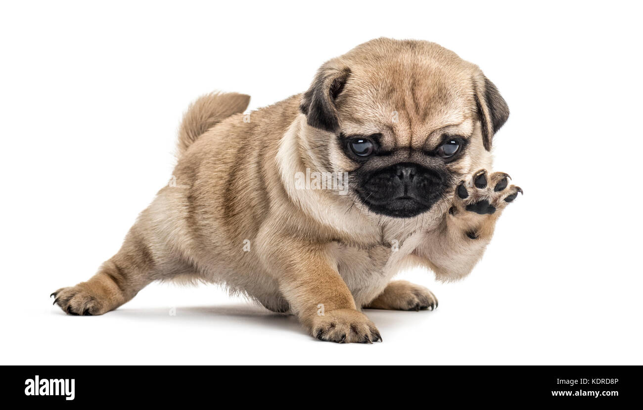 Pug puppy playing, isolated on white - Stock Image