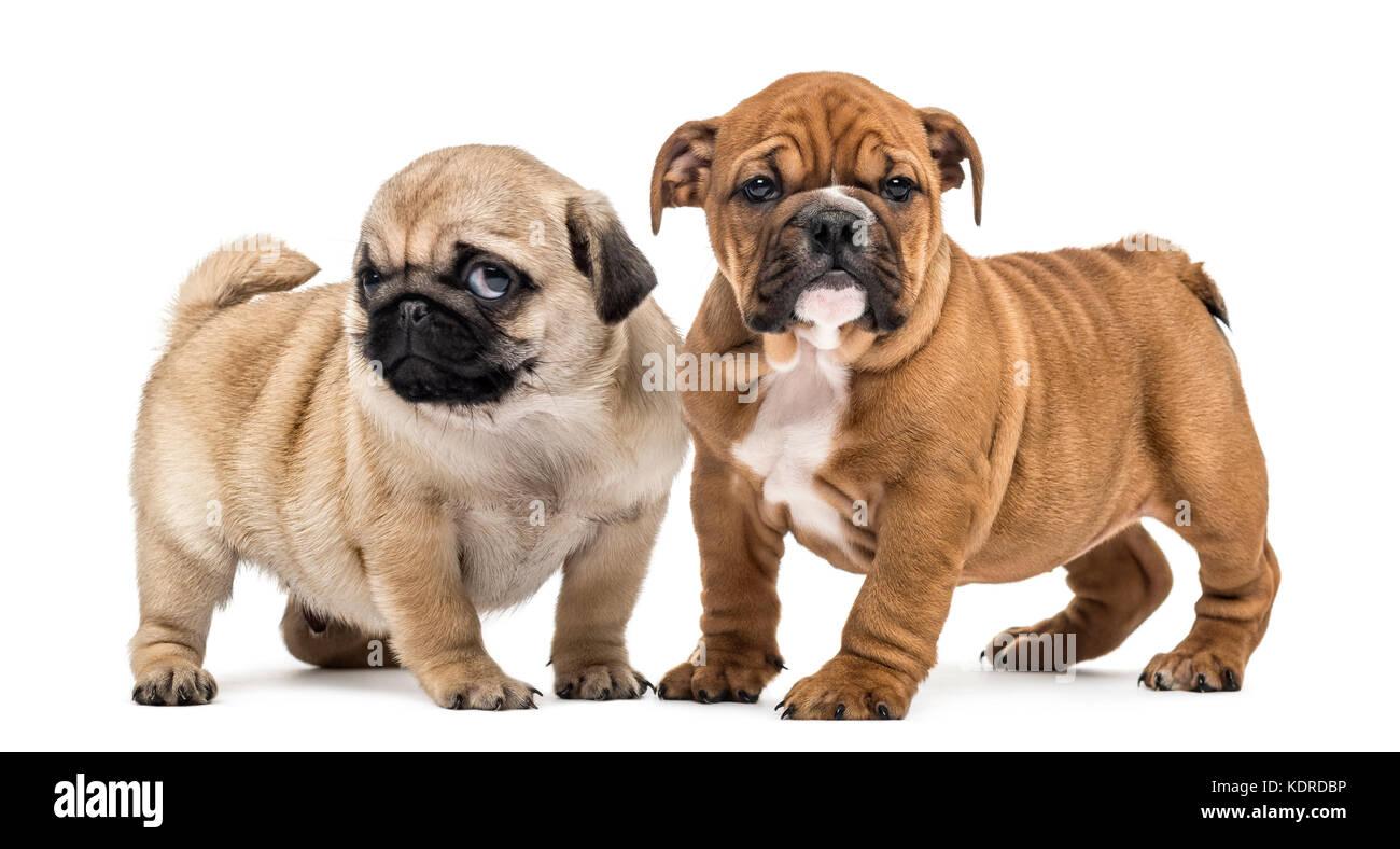 English Bulldog Pup Stock Photos & English Bulldog Pup Stock Images
