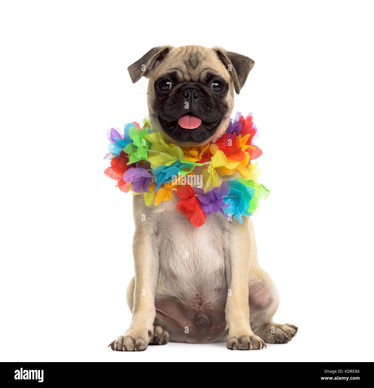 Pug sitting wearing a hawaiian lei, isolated on white - Stock Image