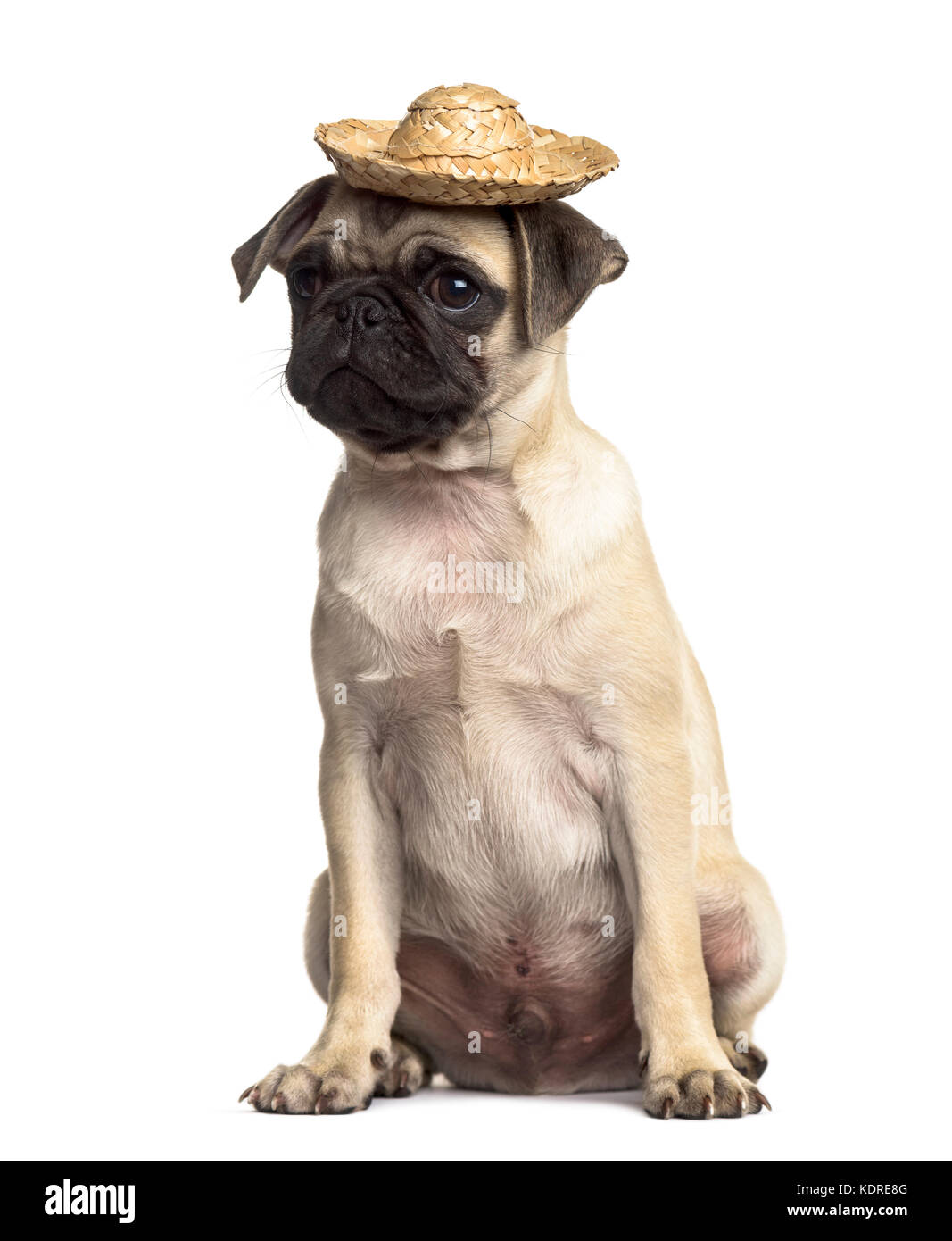 Pug sitting with a hat, isolated on white - Stock Image