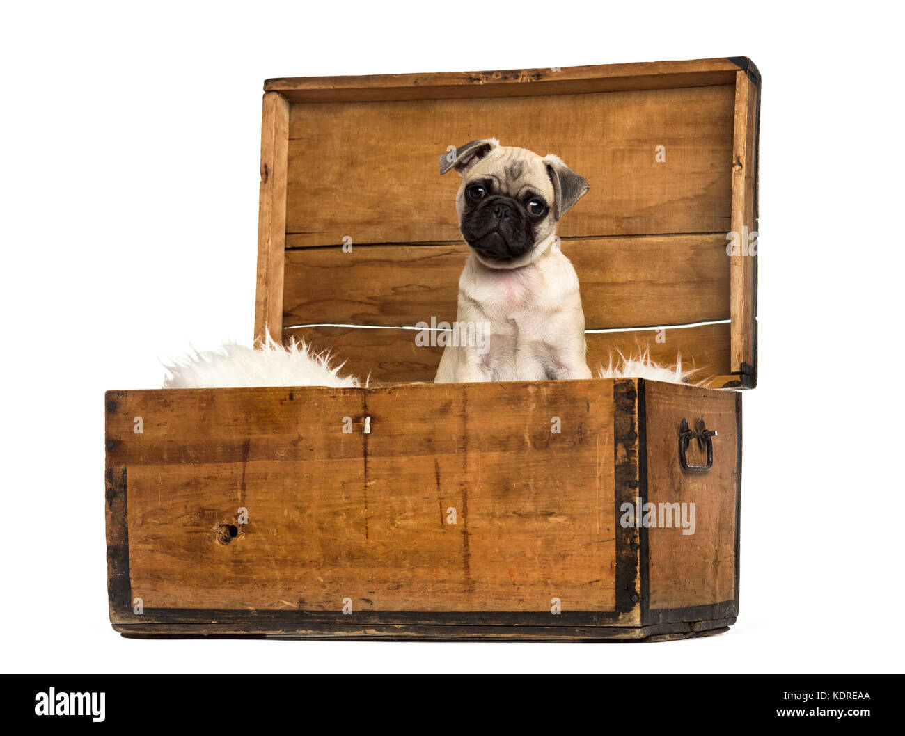 Pug sitting in a wooden chest, isolated on white - Stock Image