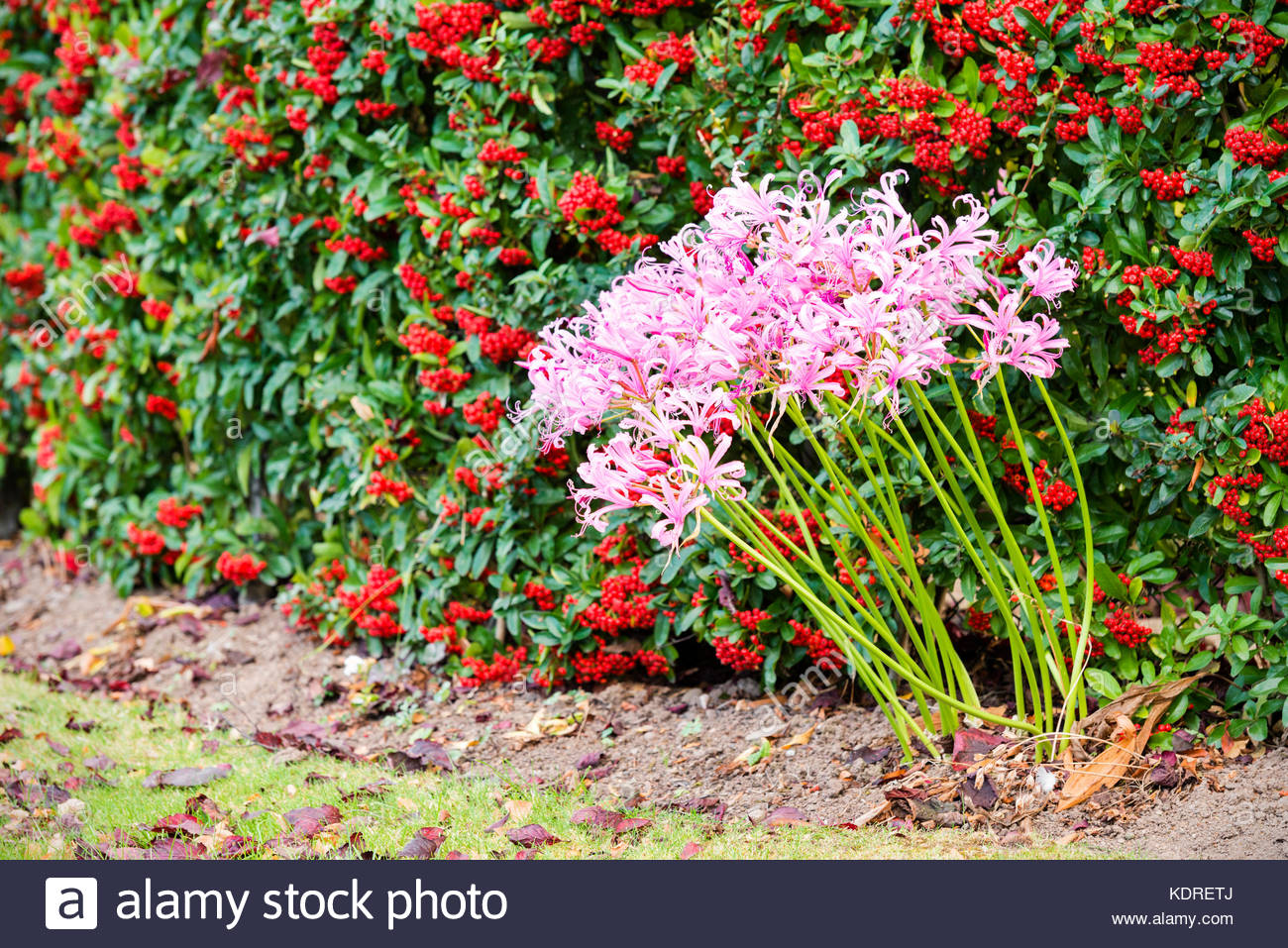 Nerine bowdenii flowers in a clump in the garden, protected by a hedge with red berries, UK. - Stock Image