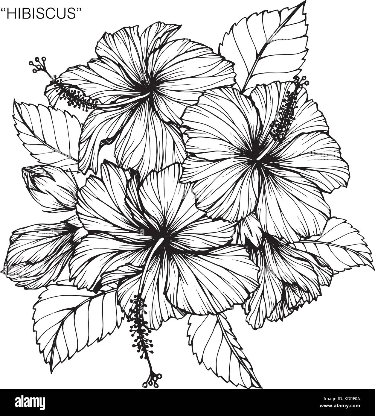 Hibiscus flower hand stock photos hibiscus flower hand stock hibiscus flower drawing illustration black and white with line art stock image izmirmasajfo