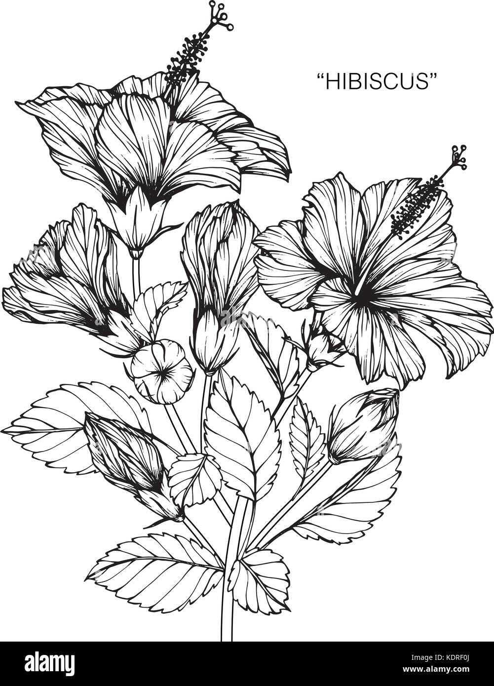 Line Drawing Flower Vector : Hibiscus flower drawing illustration black and white with