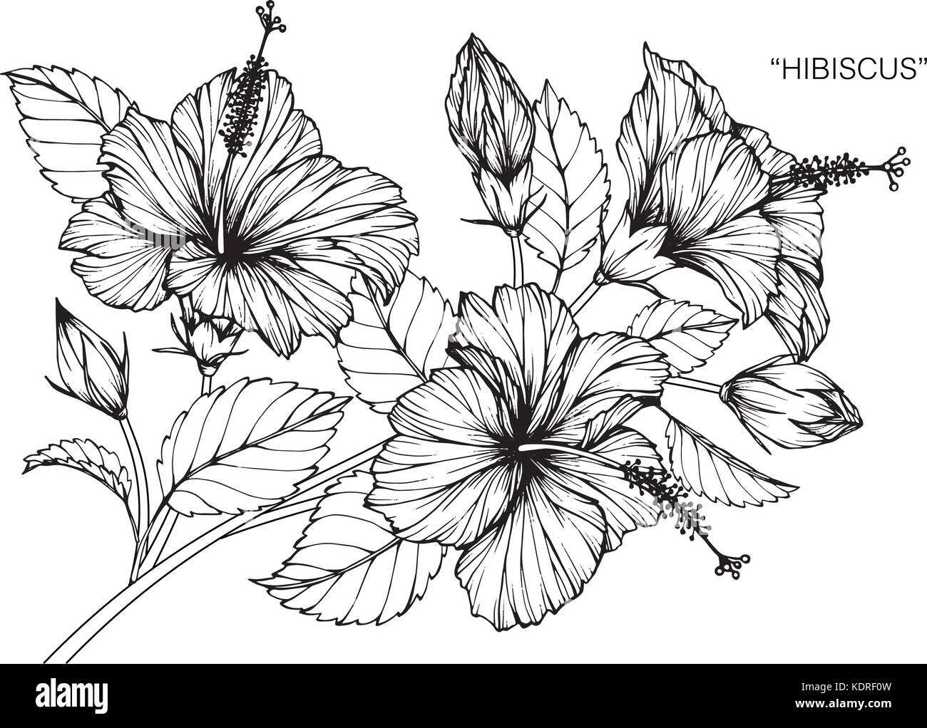 Hibiscus Flower Drawing Illustration Black And White With Line Art