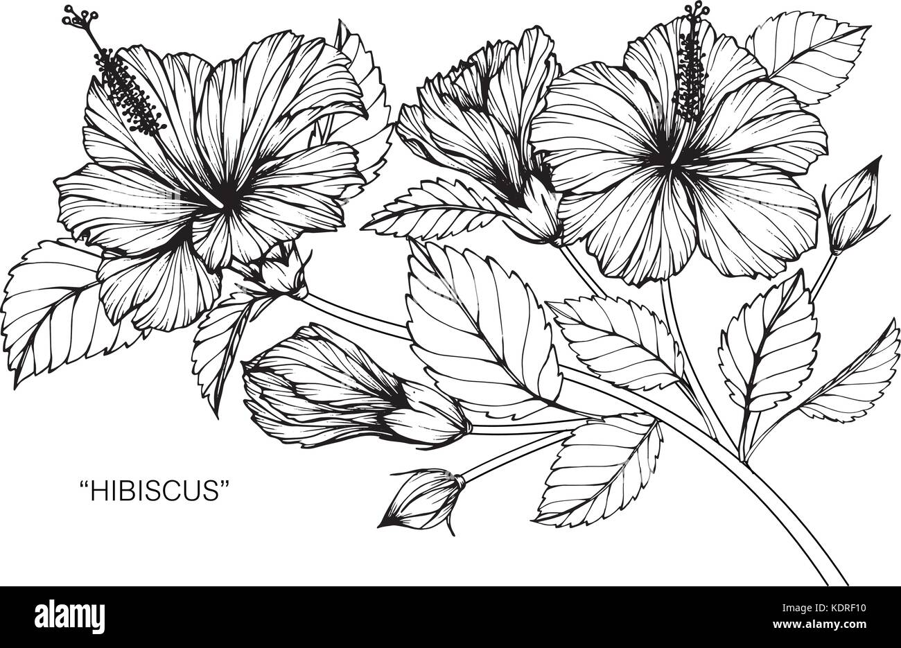 Hibiscus flower stock vector images alamy hibiscus flower drawing illustration black and white with line art stock vector izmirmasajfo