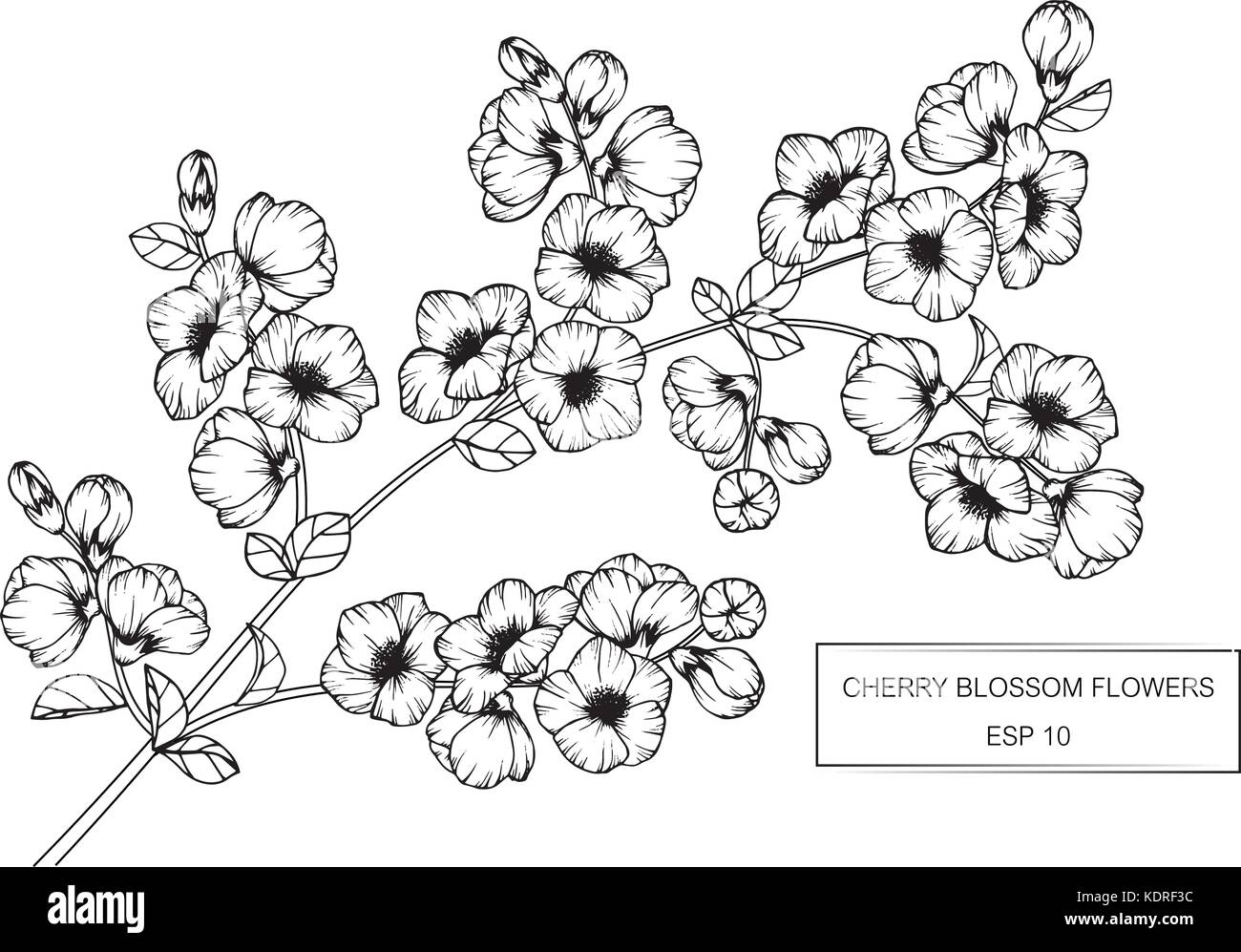 Blossom Flower Line Drawing : Cherry blossom flower drawing illustration black and