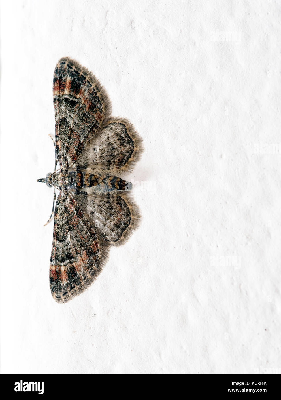 Double-striped pug moth. Small, brown,palearctic moth. On white wall. - Stock Image