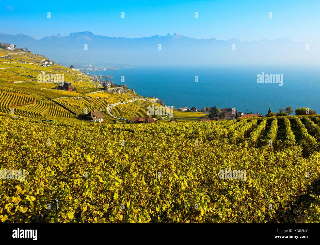 Vineyards in golden autumn foliage rising above Lake Geneva, Rivaz, Lavaux, Vaud, Switzerland - Stock Image