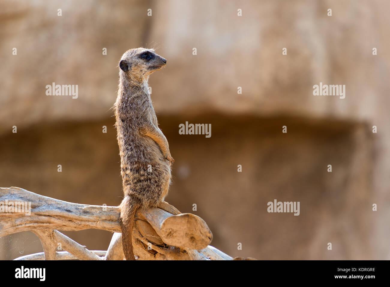 south african suricata suricatta meerkat standing and observing - Stock Image
