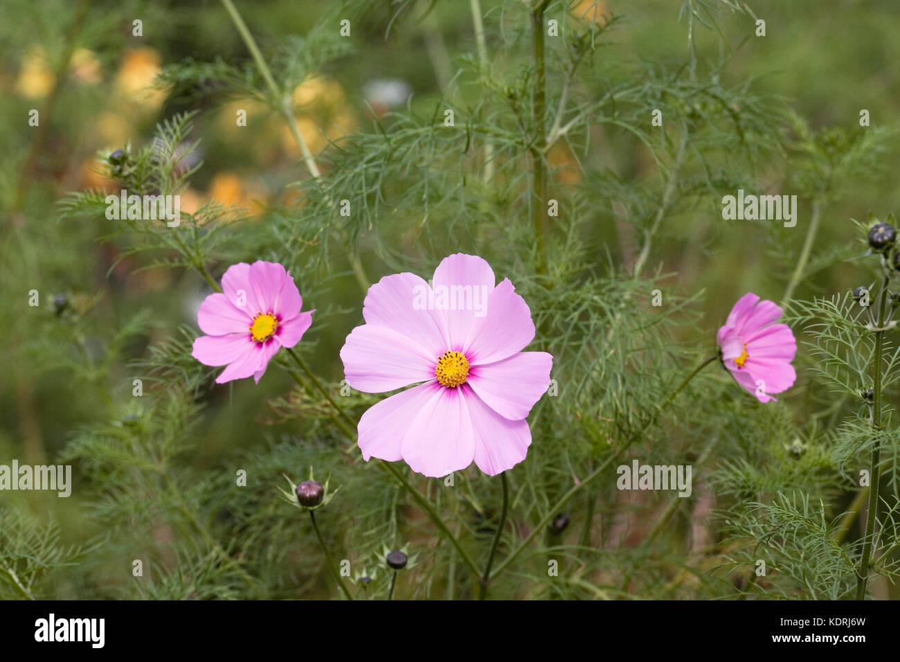 Cosmos bipinnatus flowers in Autumn. - Stock Image