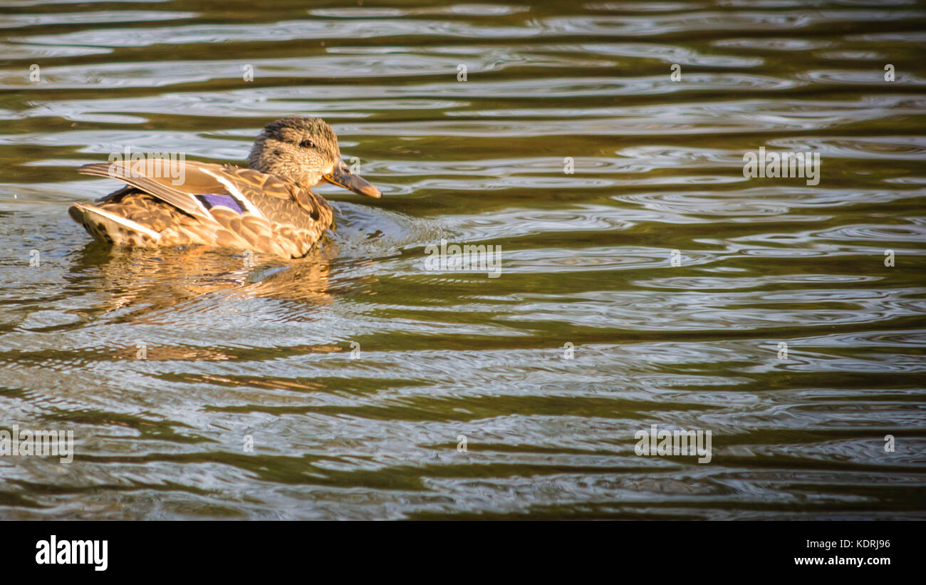 Anas platyrhynchos ,solitary female mallard duck swimming between the tress in Ryton pools, UK. - Stock Image