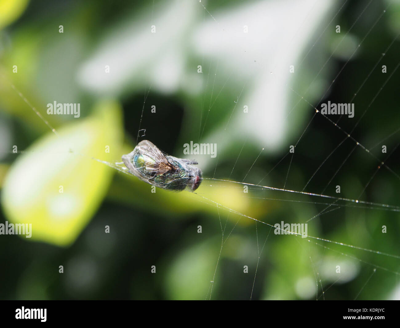 A wasp caught in a spiders web and wrapped in silk - Stock Image