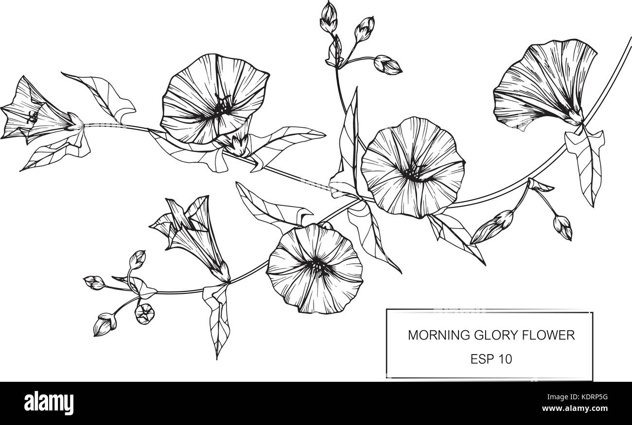 Morning glory flower drawing illustration black and white with line art
