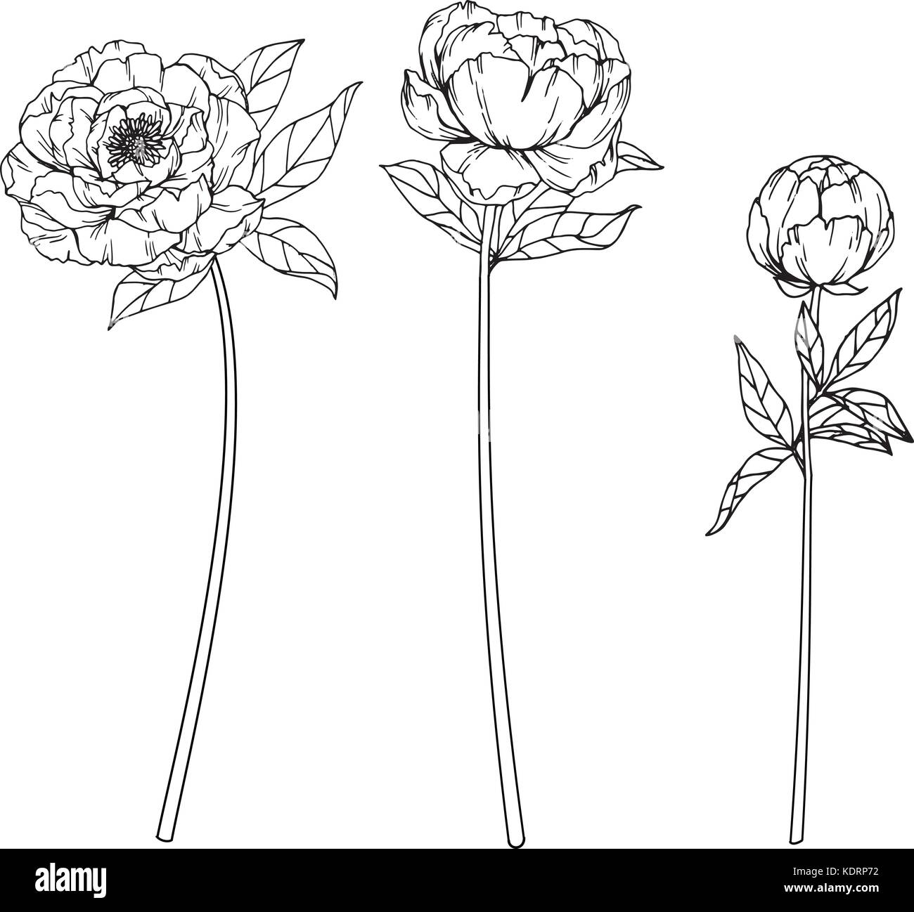 Peony Flower Drawing Illustration Black And White With Line Art