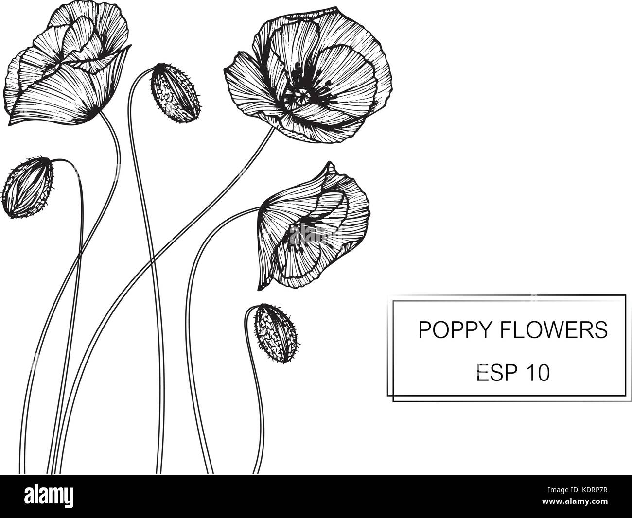 Poppy Flower Drawing Illustration Black And White With Line Art