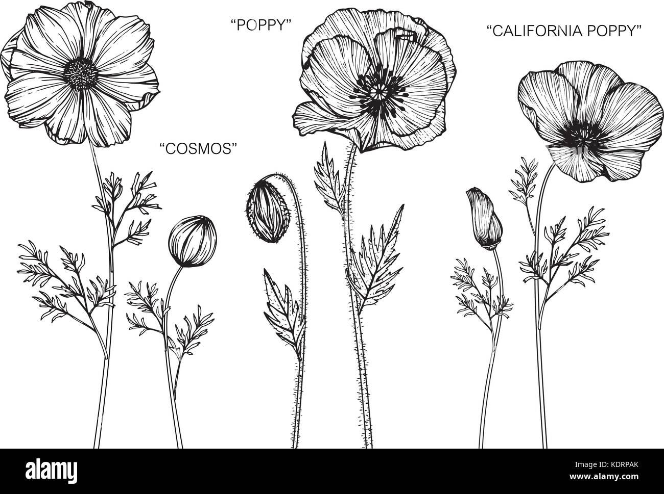 Cosmos Poppy California Poppy Flower Drawing Illustration Black