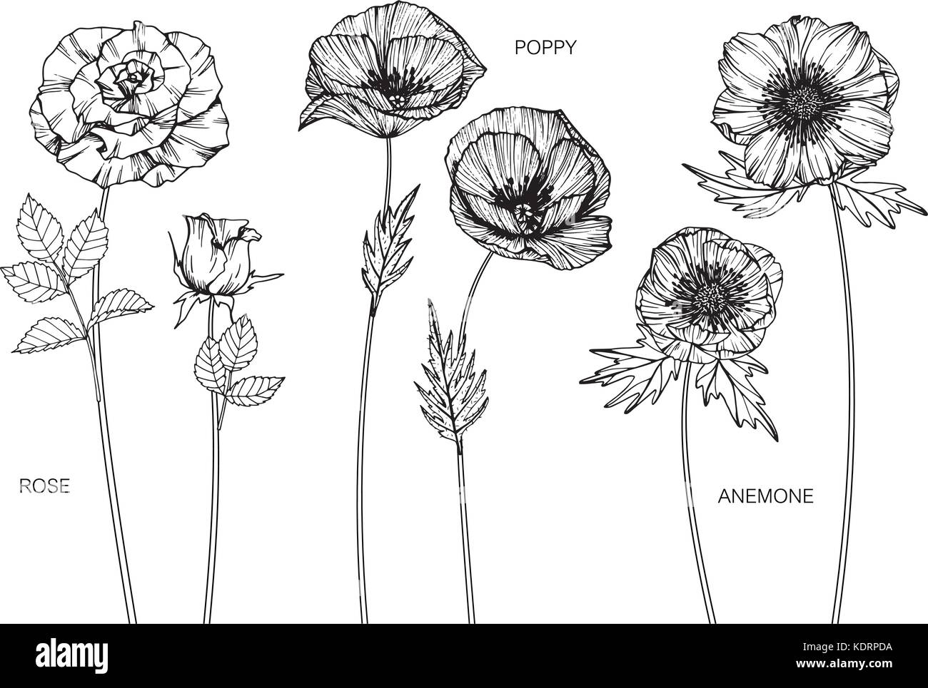 Rose, poppy, anemone flower drawing  illustration. Black and white with line art. - Stock Vector
