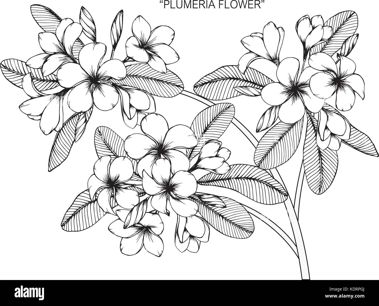 1f0cdf329 Plumeria flower drawing illustration. Black and white with line art ...