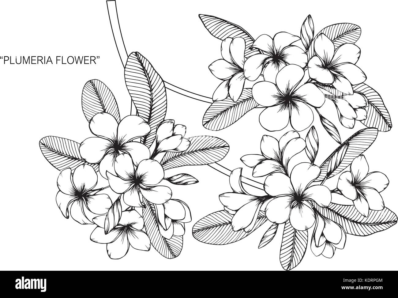 Plumeria Flower Drawing Illustration Black And White With Line Art Stock Vector Image Art Alamy