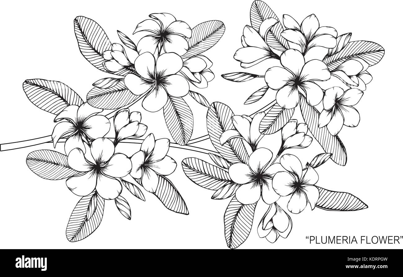 Plumeria Flower Drawing Illustration Black And White With Line Art