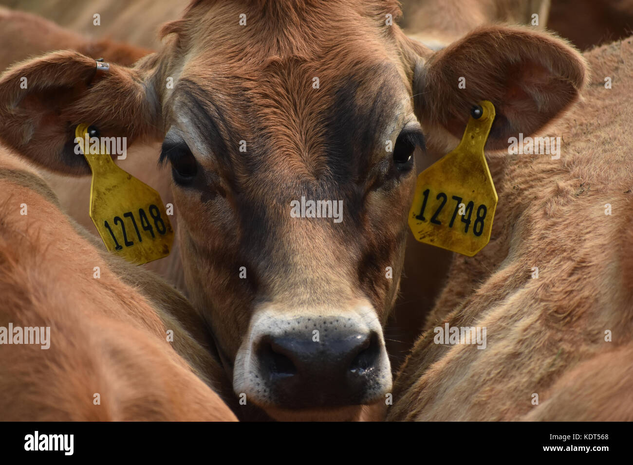Cow wearing tags in ears and closeup of head while standing between other cows - Stock Image