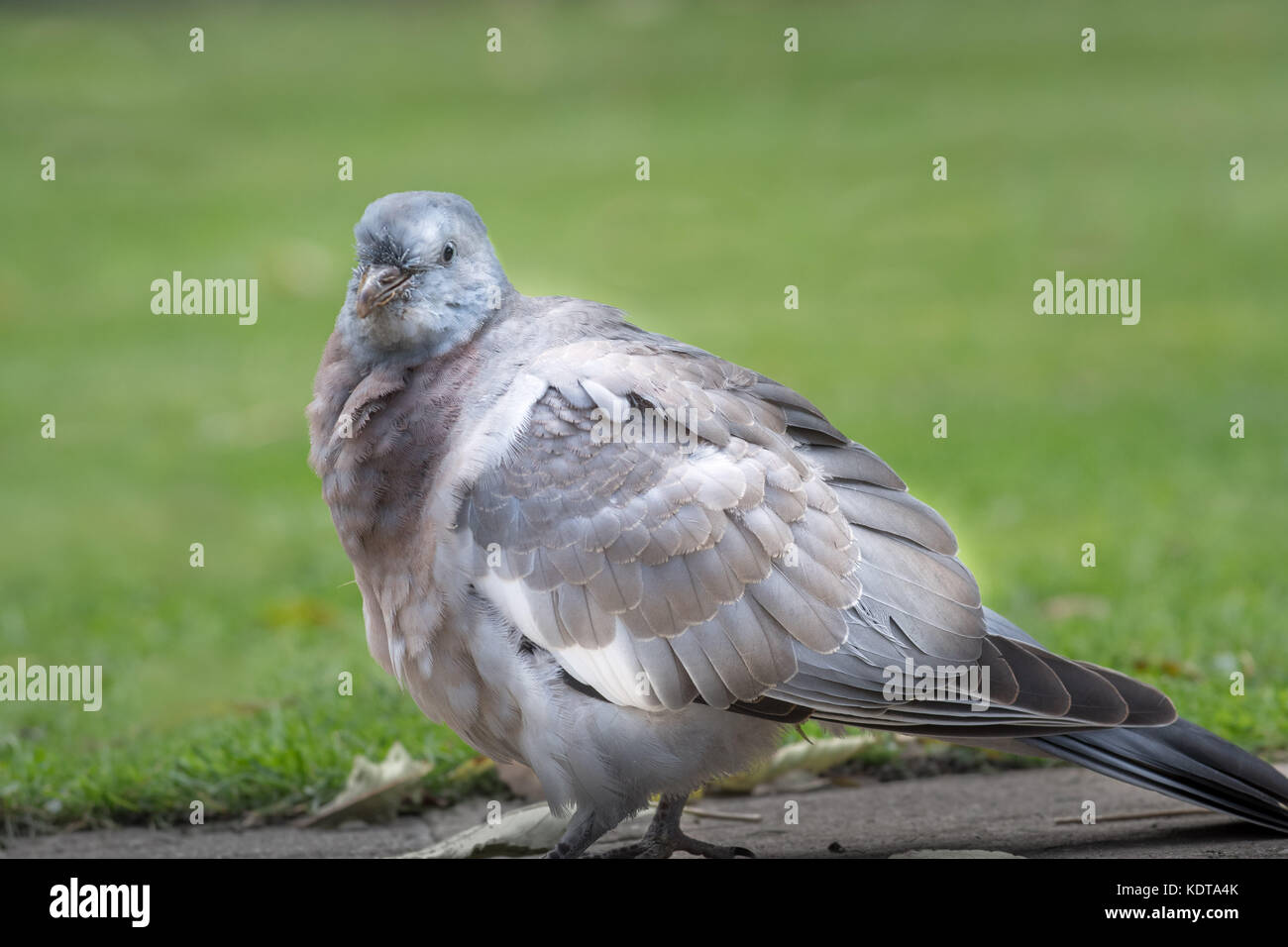 Alert and wary old- aged wood pigeon - Stock Image