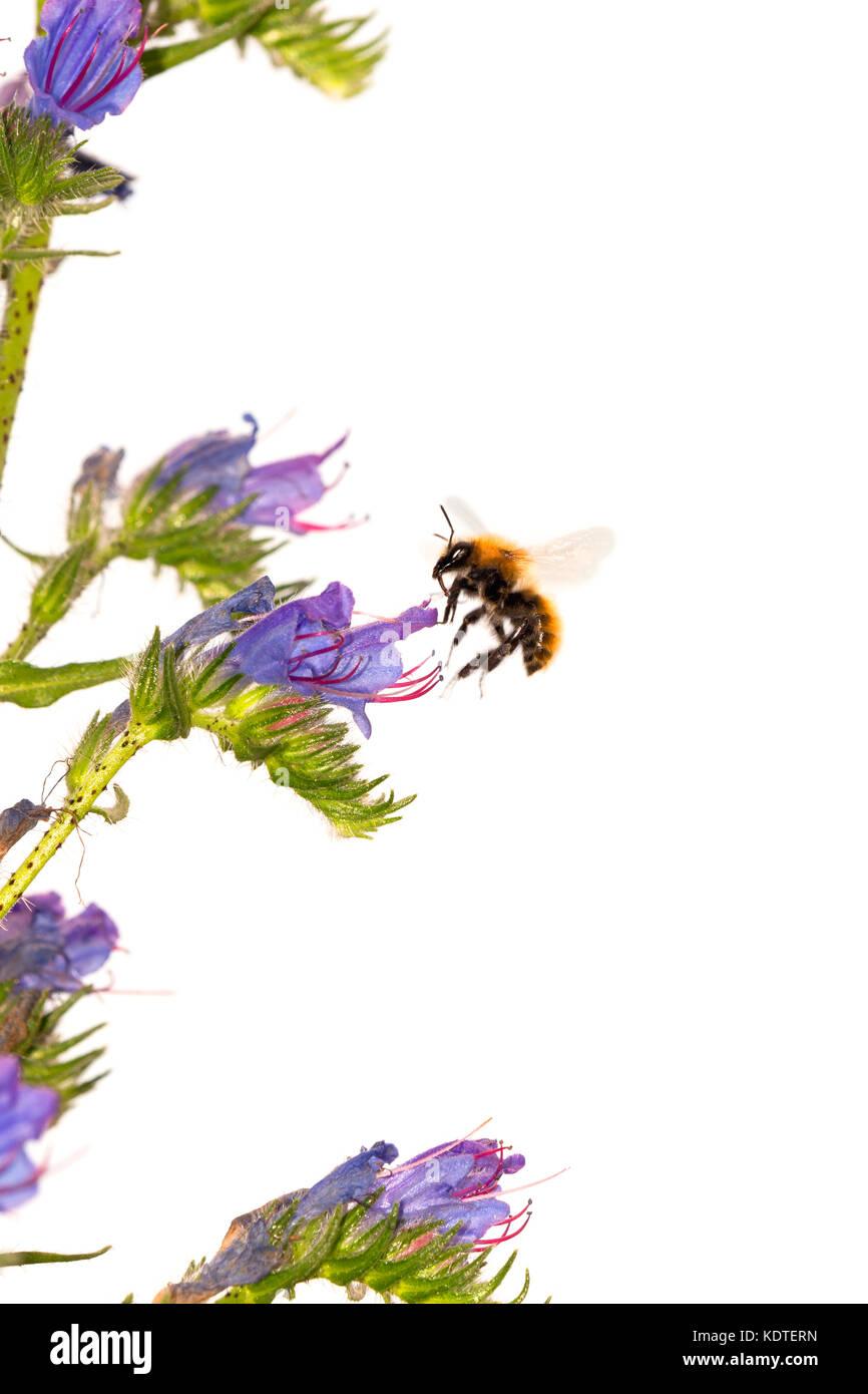Bee in flight approaching flower - Stock Image