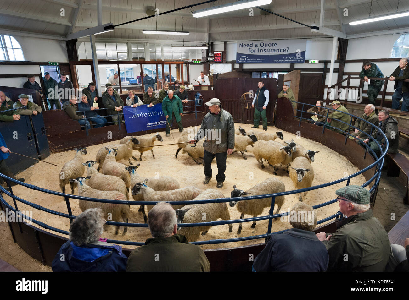 Lazonby Auction Mart, Cumbria, UK. Autumn sale of mule gimmer lambs. Lambs being auctioned in the ring. - Stock Image