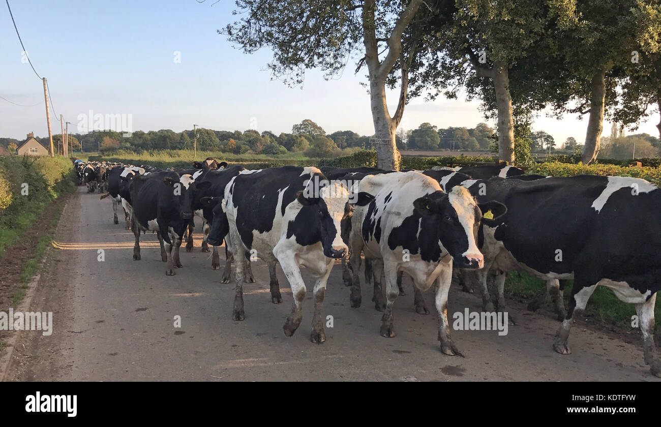 Cows In A Cheshire lane, Antrobus Stock Photo