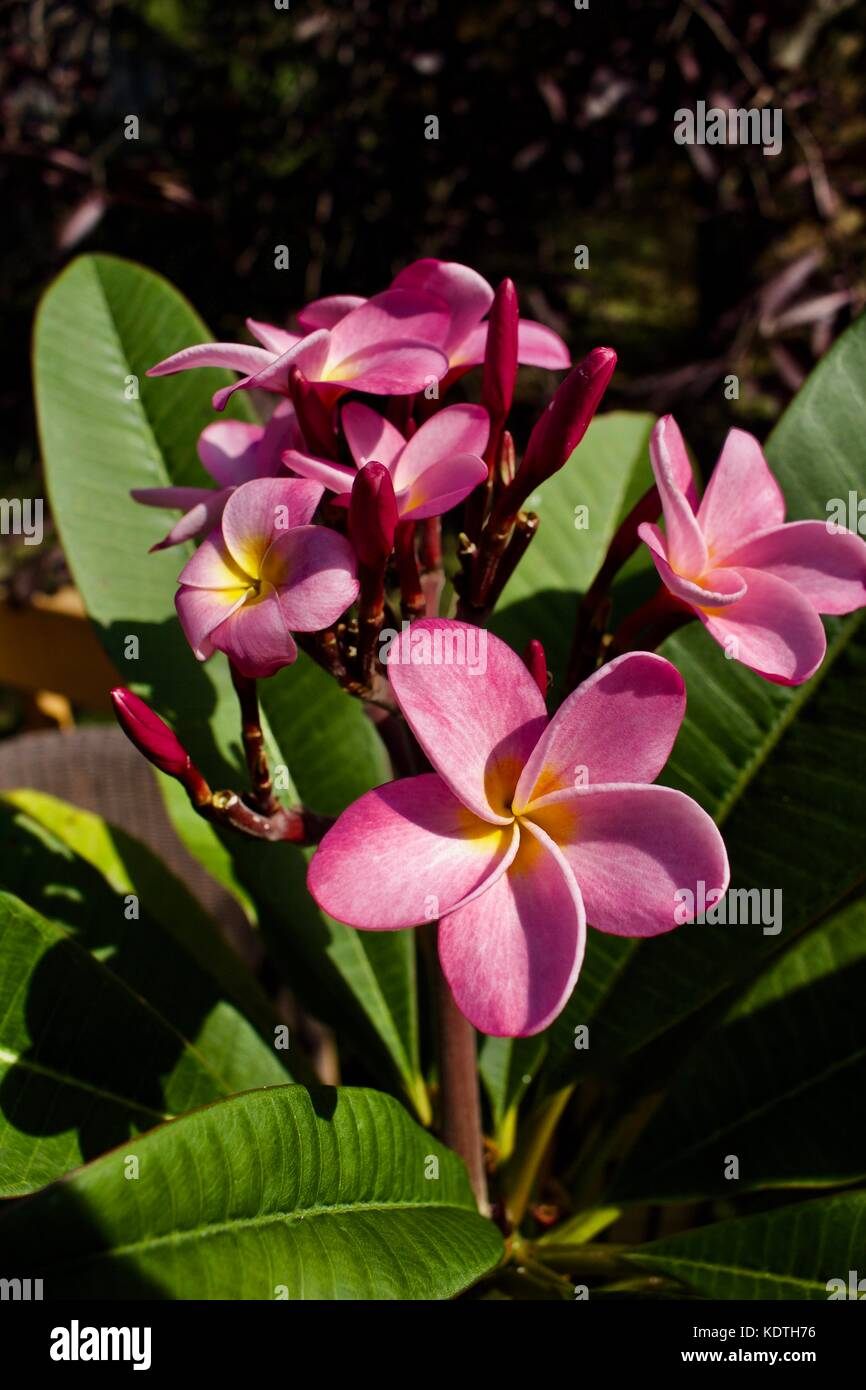 Cluster Of Pretty Pink Plumeria Frangipani Flowers In Full Bloom