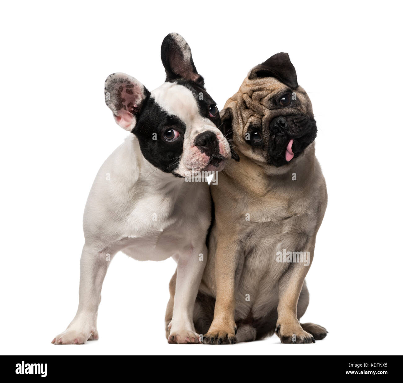 French Bulldog (7 months old), Pug (8 months old) - Stock Image