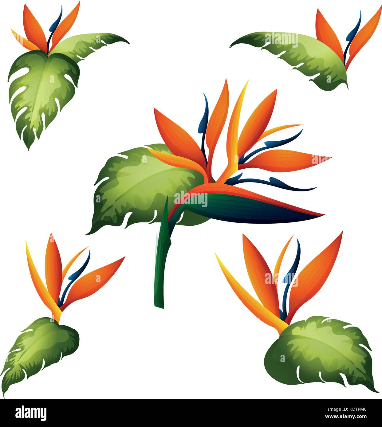 Bird Of Paradise Stock Vector Images - Alamy