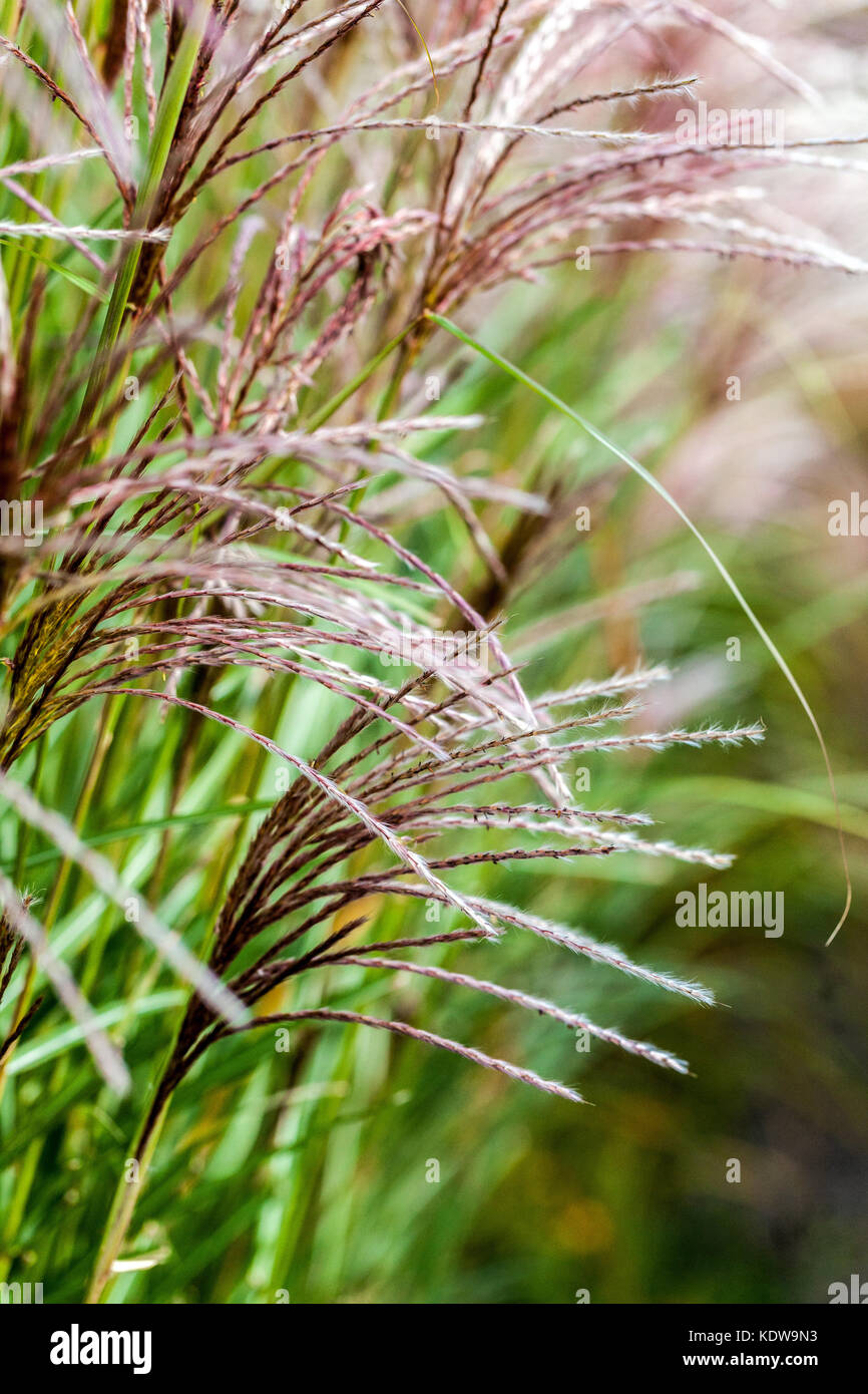 Chinese silver grass, Miscanthus sinensis 'Grosse Fontane' - Stock Image