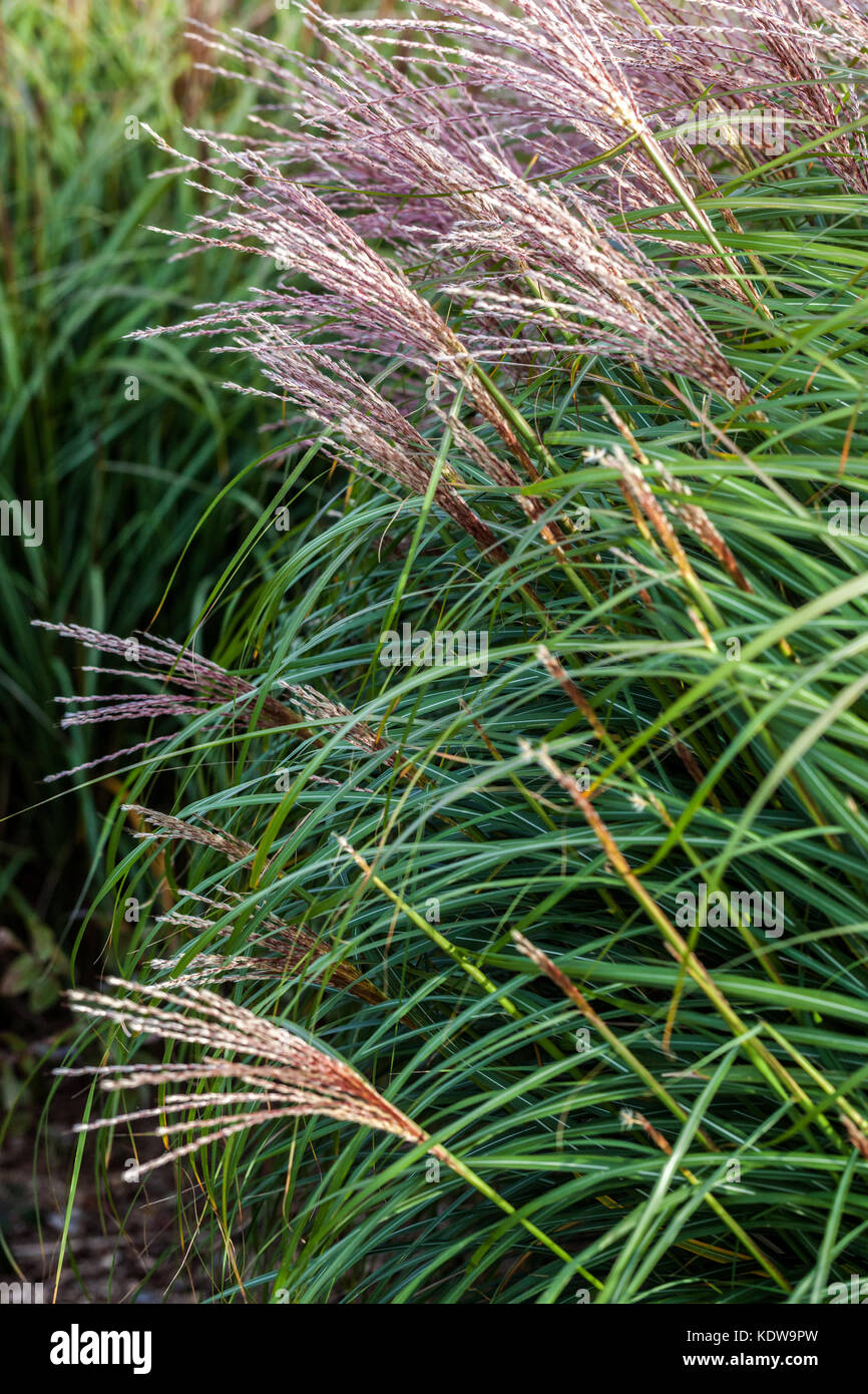 Chinese silver grass, Miscanthus sinensis 'Krater' - Stock Image
