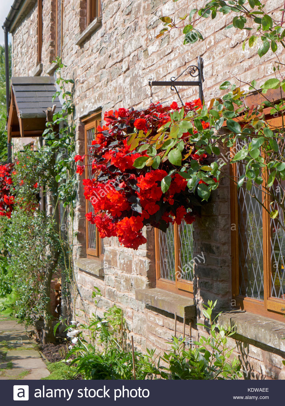 A hanging basket of red begonias on a stone wall of a country cottage uk - Stock Image