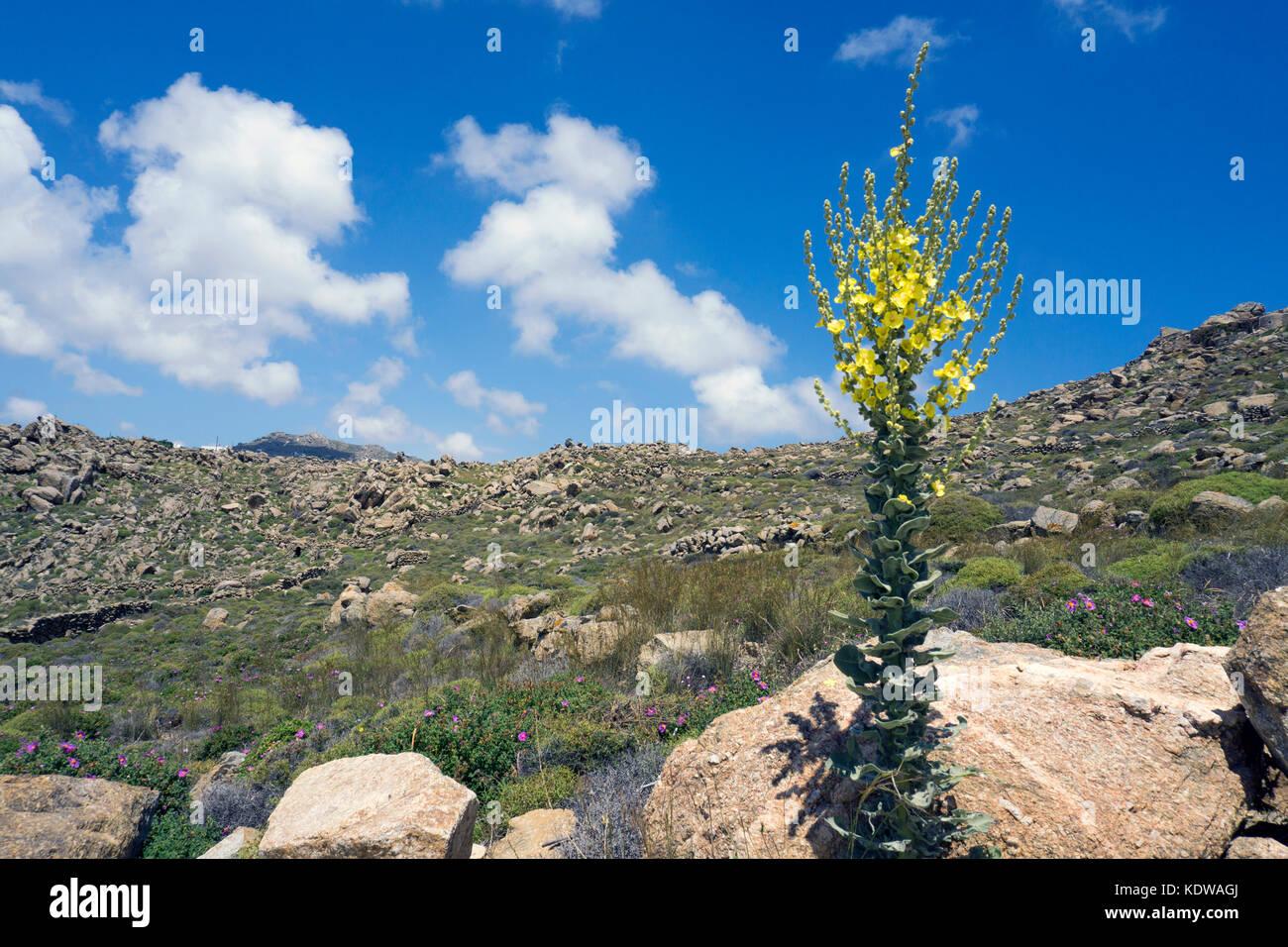 Griechische Koenigskerze (Verbascum olympicum), oberhalb vom Super Paradise Beach, im Sueden von Mykonos, Kykladen, - Stock Image