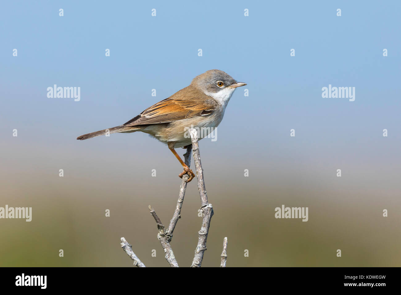 Whitethroat perched on a twig in Cornwall with a blue sky background. - Stock Image