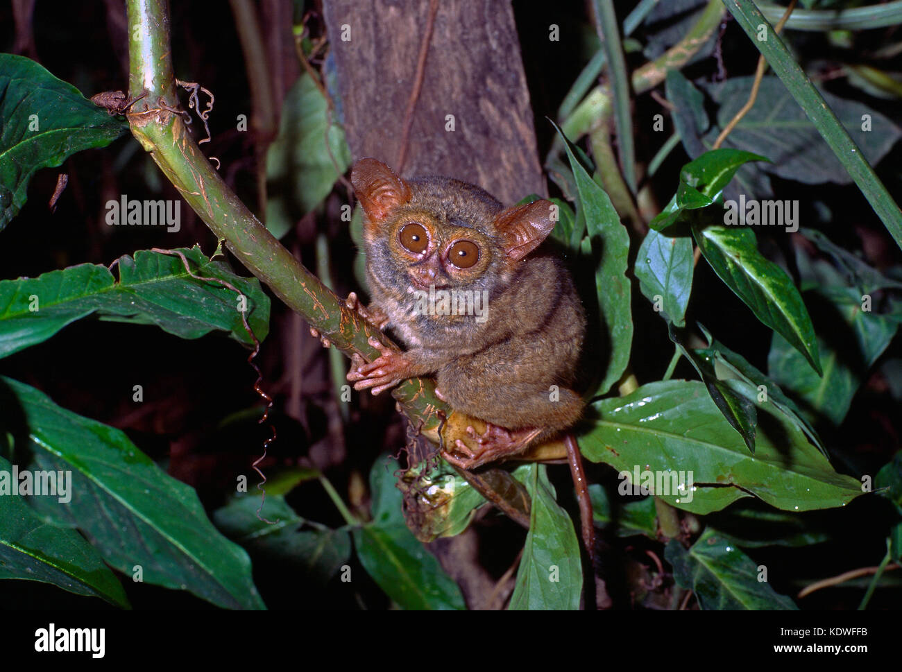 Indonesia. Sulawesi. Wildlife. Eastern Tarsier. - Stock Image